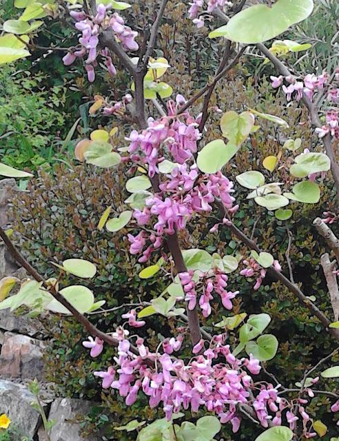 Spring blossom Cercis siliquastrum Green Fingered Blog