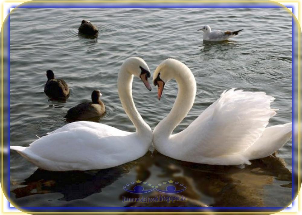 Piękne dwa Łabędzie i Pisklęta - symbol miłości - Duchowy Uzdrowiciel cały świat