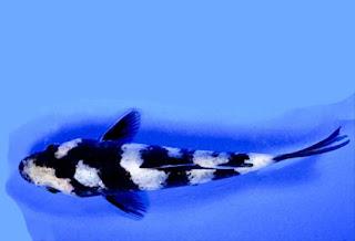 Ikan Koi Kumonryu