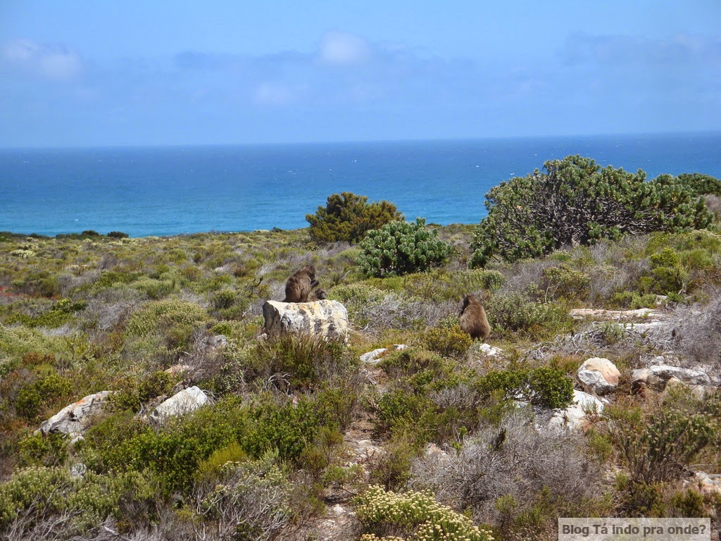 babuínos no Cabo da Boa Esperança