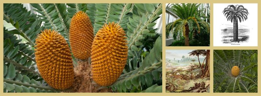 Conos de Cícada de Wood (Encephalartos woodii) Kew Gardens