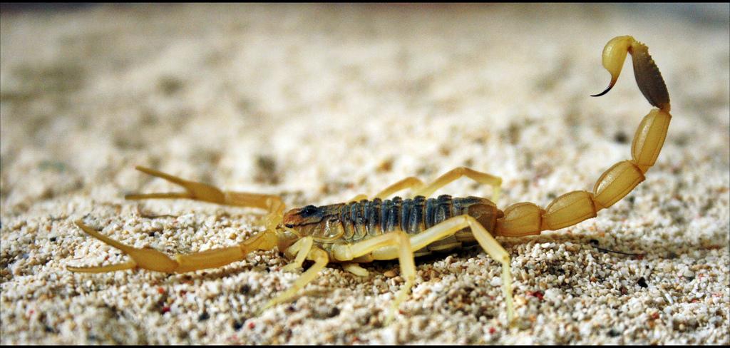 El Rey Escorpión. Las 7 especies más letales.