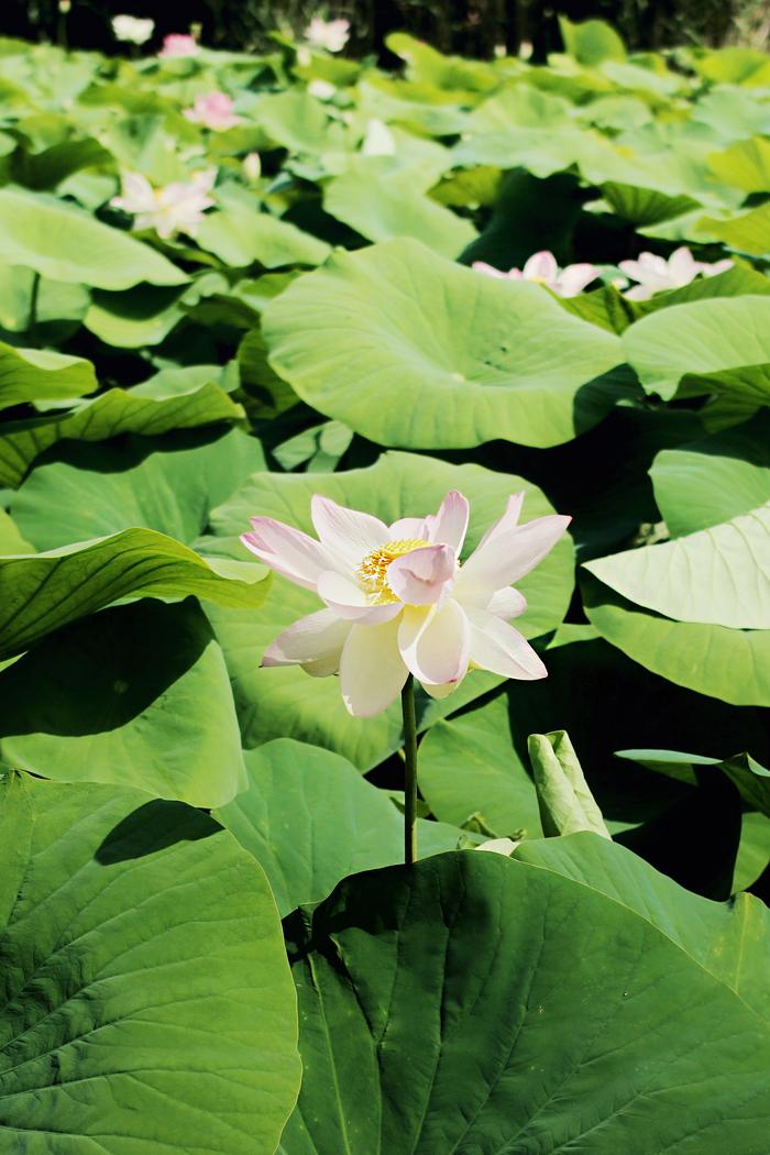 L'Étang Fontmerle Lotus pond Mougins