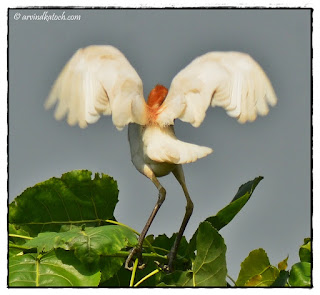 Cattle Egret, Wings Open,