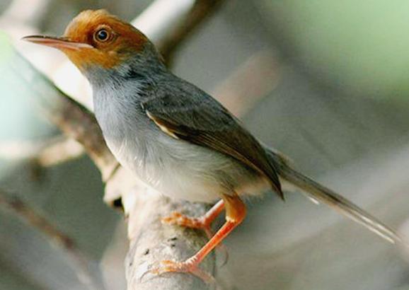 Burung Prenjak Bakalan