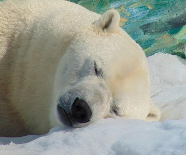 urso-polar-hibernação
