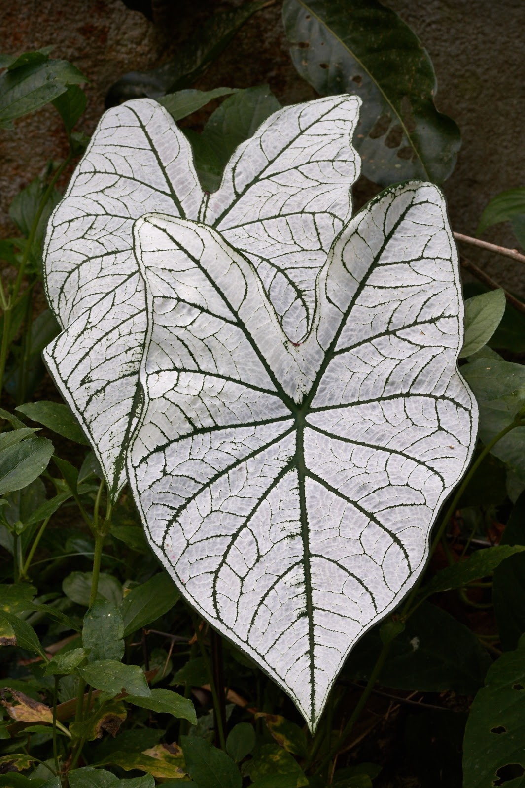 Philippines, white leaves, plant,photography,garden,beauty