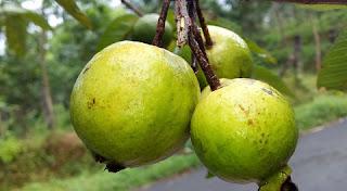 فوائد الجوافة المذهلة التى تدفعك لتناولها يومياً