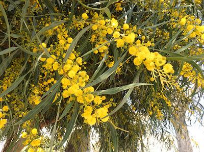 Acacia, mimosa (Acacia retinoides)