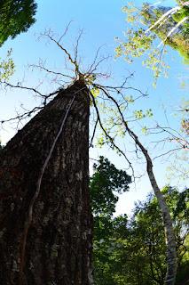 Roble Tree