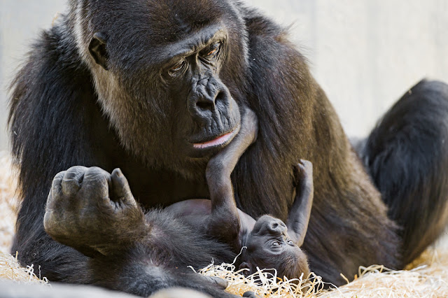 Image: Baby gorilla playing with mom, by Tambako The Jaguar on Flickr