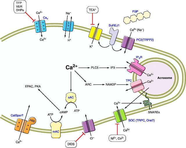 Unsur mineral dalam kepala sperma dan akrosom : ca2+