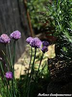 Kräuter im Bauerngarten: Schnittlauch