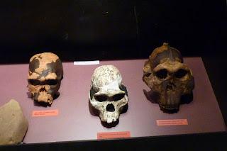 Algunos cráneos de nuestros antepasados.