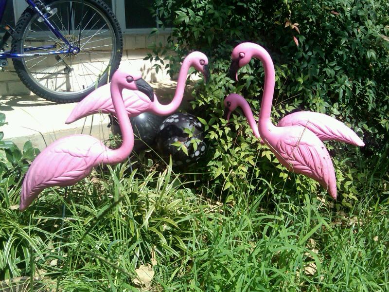 Pink Flamingos (''A Flock'') in Natural Urban Setting ...