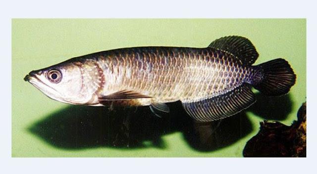 Dunia Ikan Hias - ARWANA JARDINI (ARWANA IRIAN)