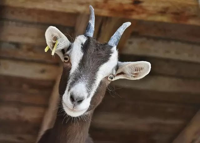 Picture of a goat looking at you