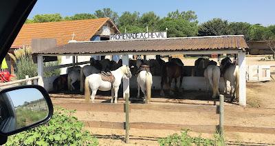 weisse Pferde in der Camargue unter Stalldach