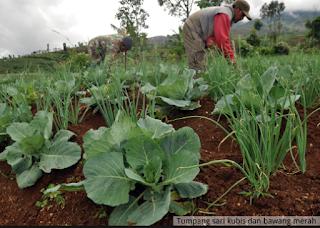 ng digunakan petani untuk meningkatkan hasil panen MENGENAL PERTANIAN MODEL TUMPANG SARI