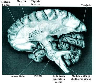 Anatomía del sistema nervioso central cerebro
