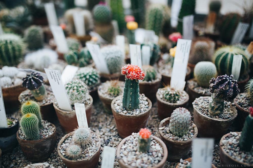 mazi kaktusi