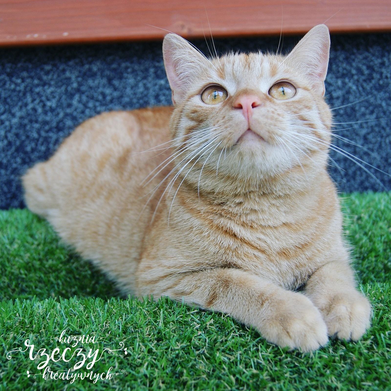 Rudy kot. Kot. Koty. Zdzisio.