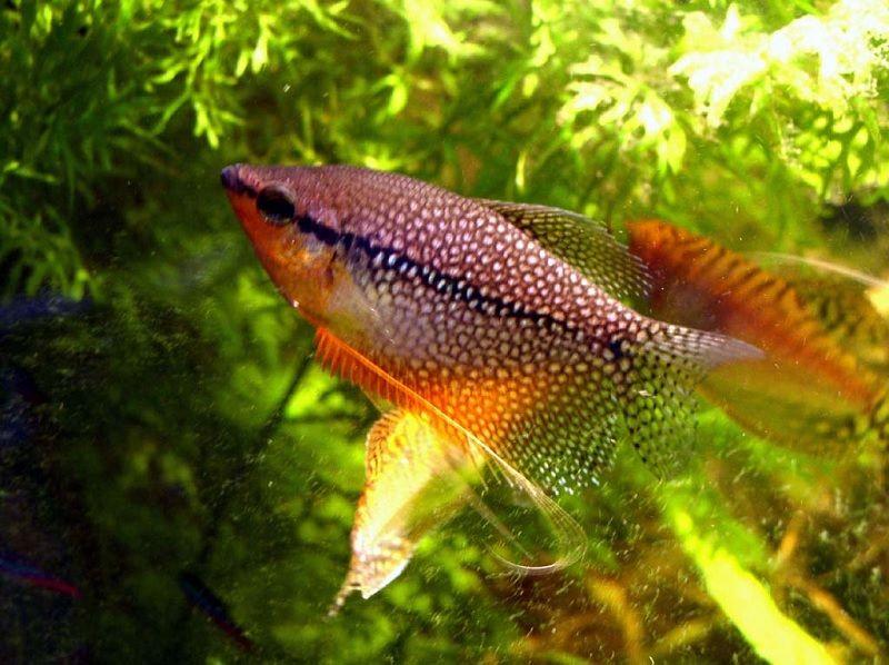 Gambar Makanan Ikan Sepat