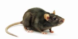 Cara efektif usir Tikus