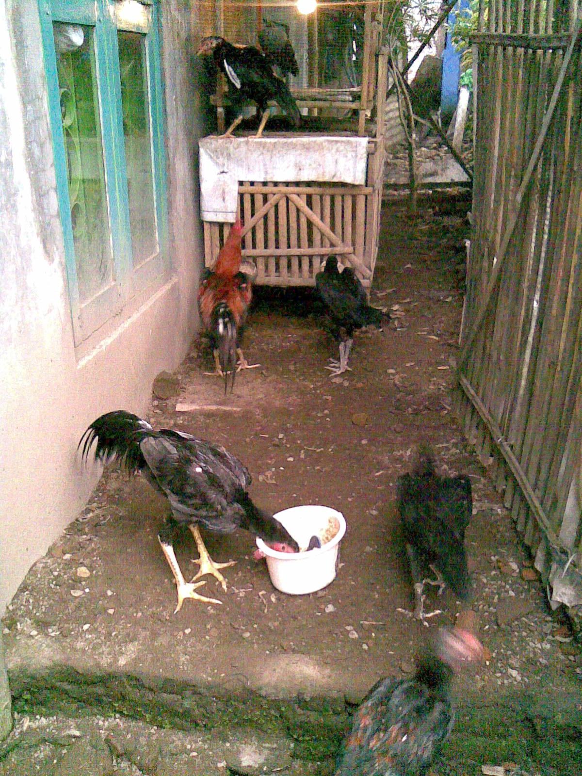 Cara membuat Desifektan sederhana kandang ayam aduan ...