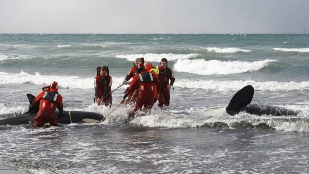varamiento y rescate de orcas