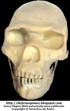 Foto del cráneo de un Homo neanderthalensis tomada por Jesus Gómez