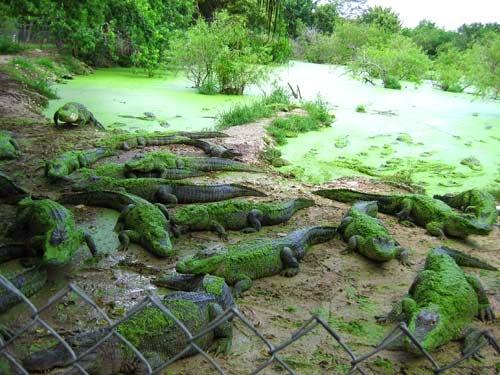 Gators galore.
