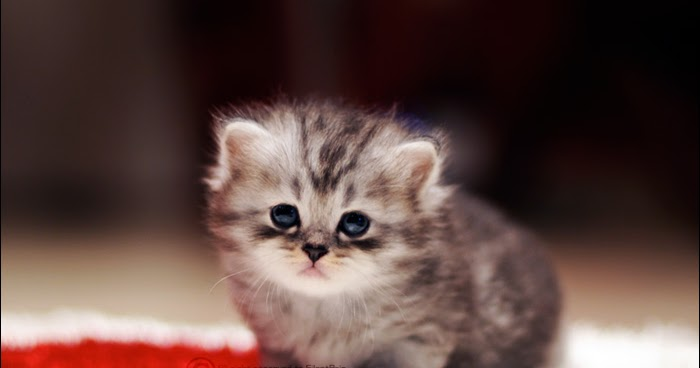 Anak Kucing Kucing Comel Wallpaper Kucingcomel Com