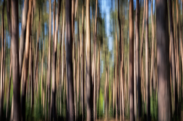 Camera movement over pine trees at Thetford Forest in Norfolk
