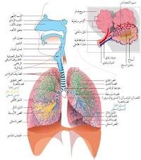 التنفس و الجهاز التنفسي - تعريف, مكونات, وظائف, كيف يعمل