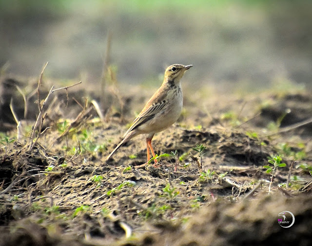 Paddy field Pipit (3 Images)