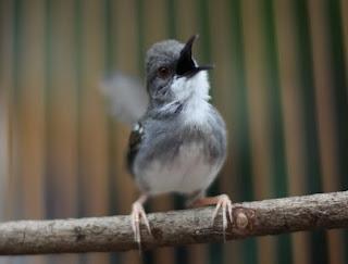 cara merawat burung ciblek tangkapan dari hutan