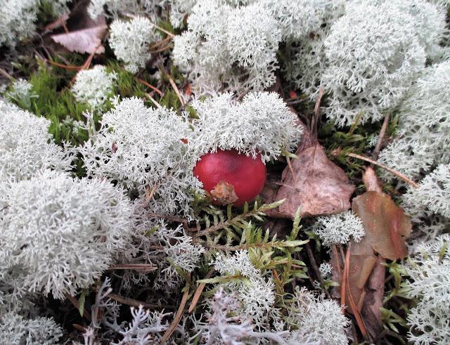 pallerojäkälä, sieni, syksy