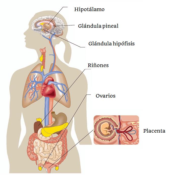 BABA DE CARACOL: Sistema Endocrino