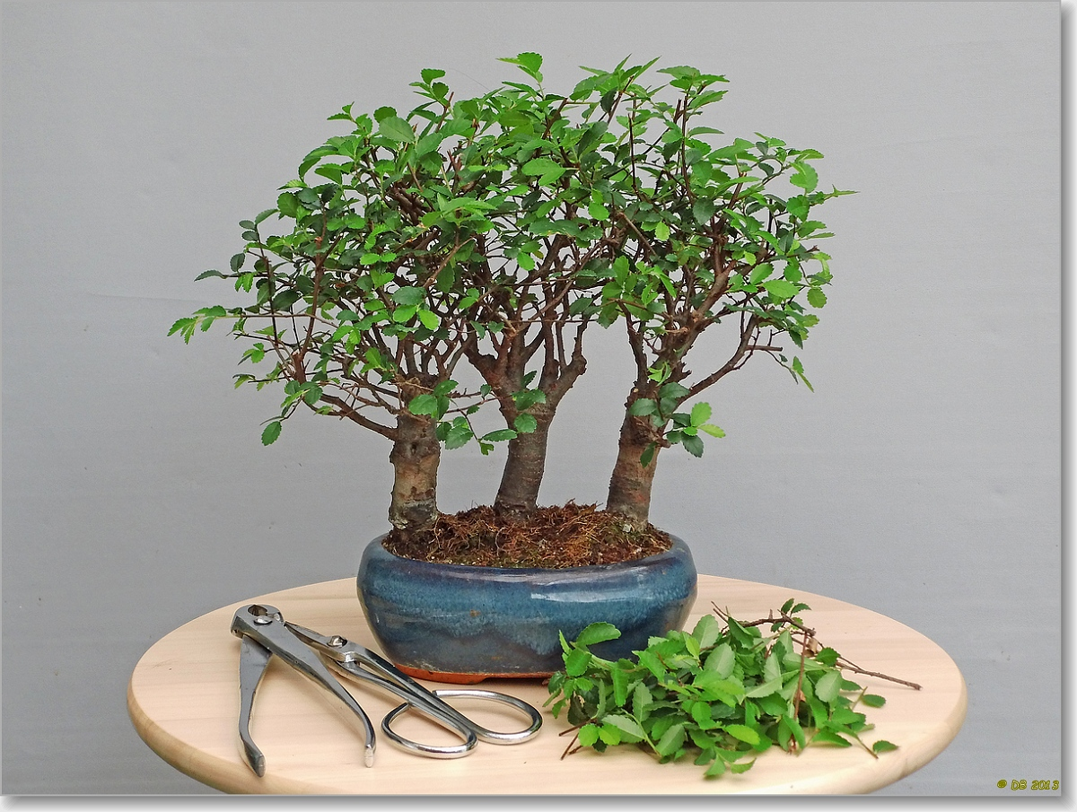 Ficus Ginseng Laat Blad Vallen Dick Bonsai September 2013