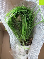 auspacken: Katzengras - Cyperus alternifolius - 3 Pflanzen - zur Verdauungsunterstützung von Katzen