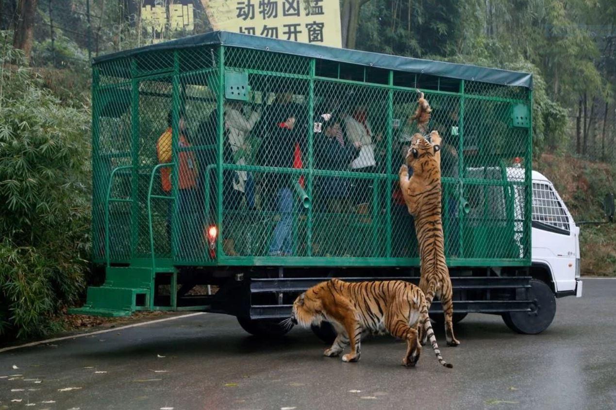 Zoológico de Lehe Ledu en China, animales sueltos y humanos encerrados. Trozo de carne colgado en el exterior de una jaula para alimentar a los leones y tigres, en zoologico de china