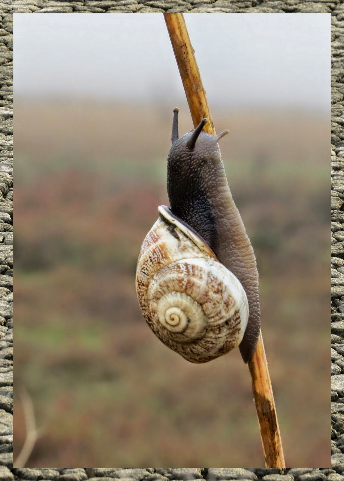 Snail on wild fennel