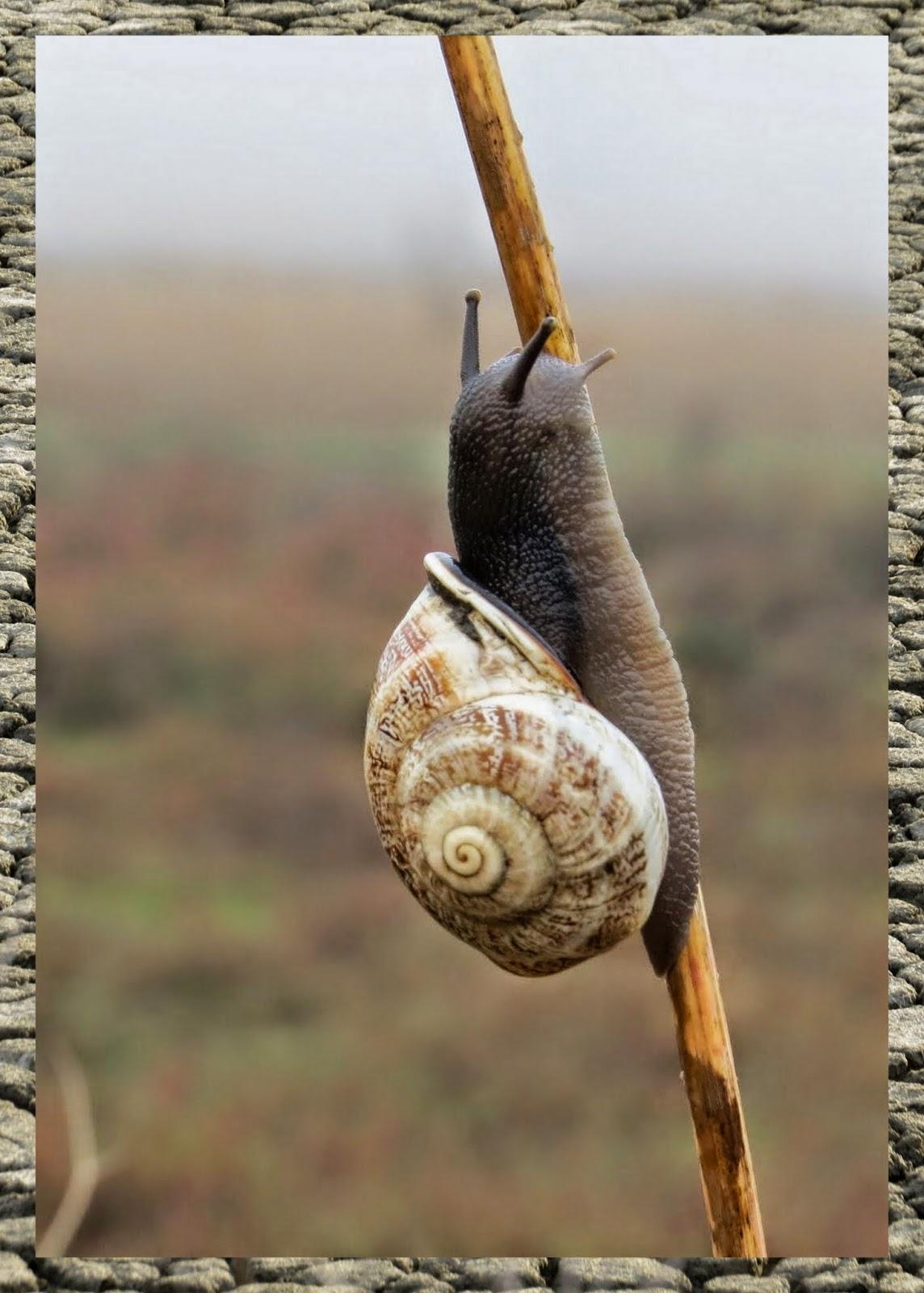Snail on wild fennel