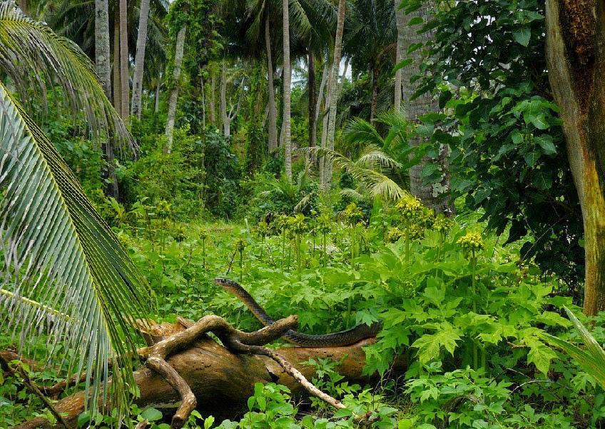 Кобра в Таилнде