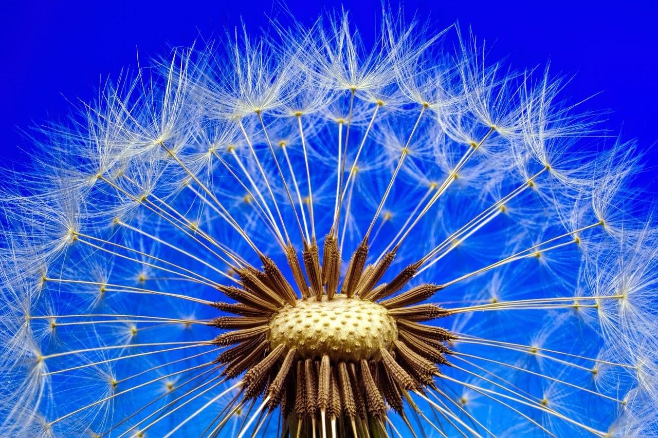 صورة بذور الازهار مستعدة للانطلاق في رحلة التحليق - اجمل واحلى صور الطبيعة الجميلة والخلابة في العالم