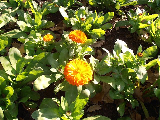 Planta de CALÉNDULA Calendula officinalis