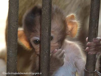 le scimmie di Lobpuri