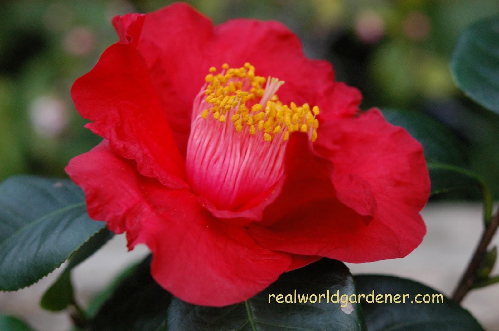 Real World Gardener Edoble Flowers In Plant Of The Week