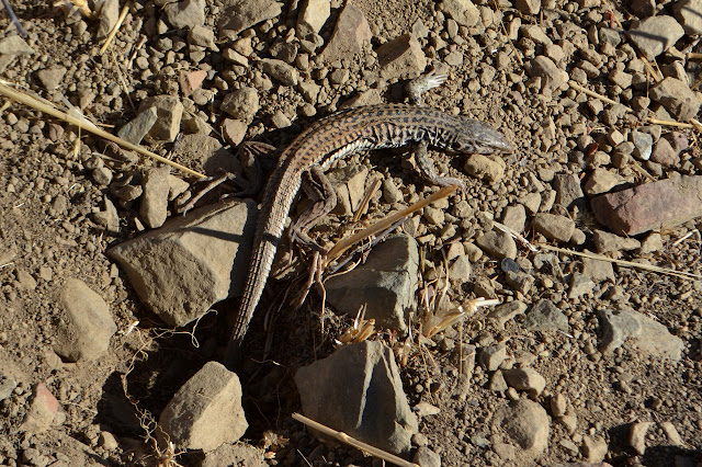 whip tail lizard with extra skin on the underside